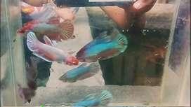 Ikan cupang Halfmoon Cooper , ex lavender