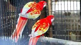 Parkit Rosella (burung Cantik dan menawan dari Australia)