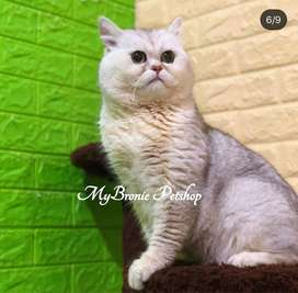 Kucing british shorthair imported from europe male silver shaded