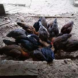 Ayam Kampung Asli ( AKA )
