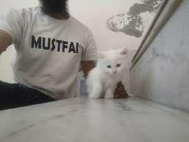 Sweet persian kitten cat