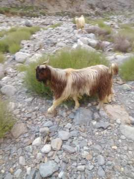 Goat(Bakra) for Eid ul adha. Very low price