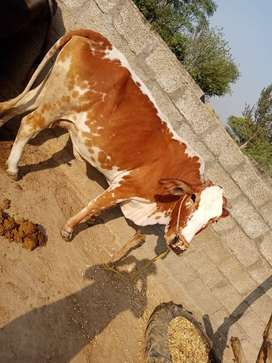 Cow for urgent sale