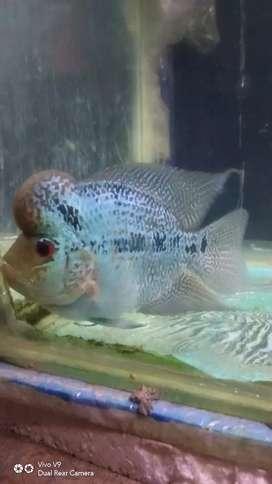 Ikan hias louhan lohan boomhead