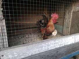 Jual ayam katek