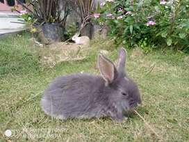 Jual Anak Kelinci