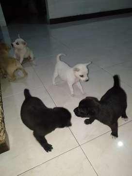 Anak anjing Kintamani