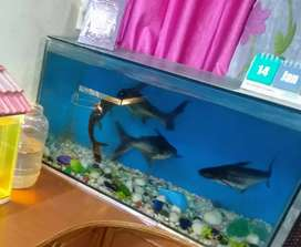 Big sized shark's