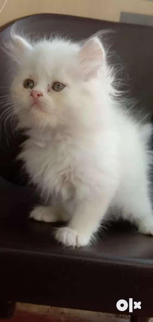 Pure Persian kittens for sale 0