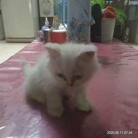 Dijual adop kucing mix angora persia warna putih