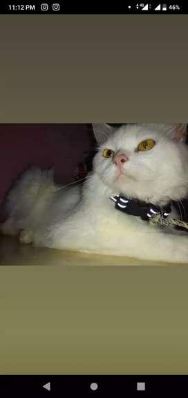 Sell my Persian cat