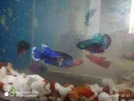 Female Betta's available