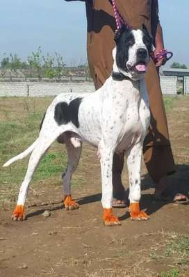 Bully 24 month male for sale