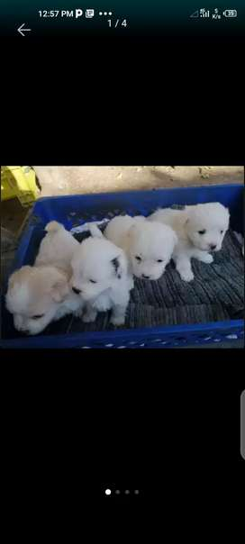 Meltesse cross breed last pups going cheap