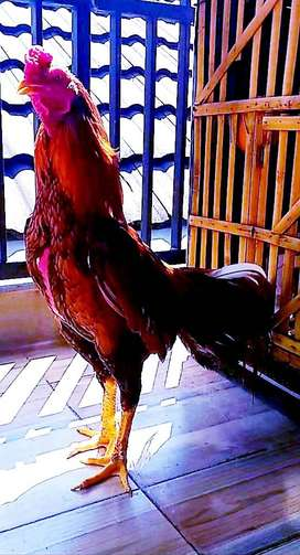 Ayam bangkok sidoarjo