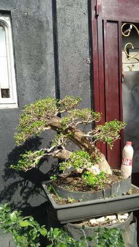 Bonsai sanchang ori bagus bonsai jadi