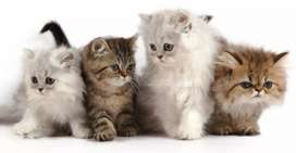 Persian Kittens (Fawn & white Color)