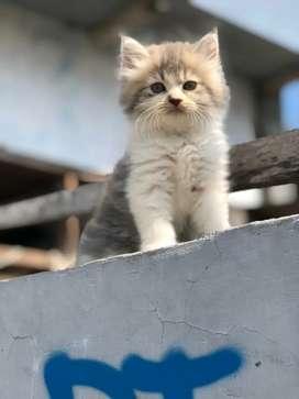 Kitten Persia bulu kapas