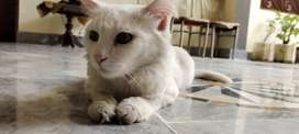 Russian white double coat cat for sale