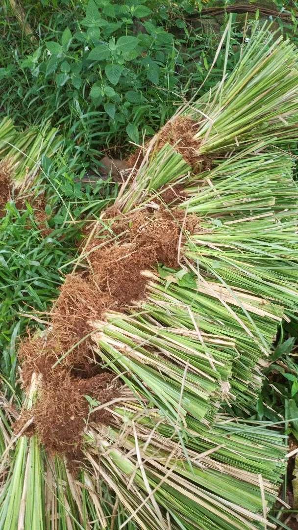 Tanaman Tebing Anti Longsor Rumput Vetiver Akar Wangi