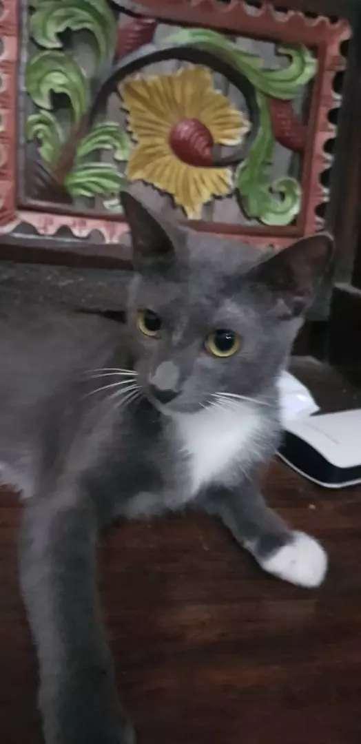 Kucing mix Rusia Blue betina 0