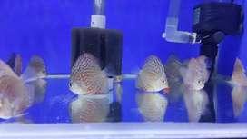 Ikan Discus Tiger