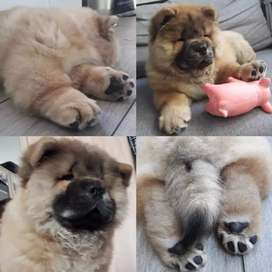 Imported chow chow puppy