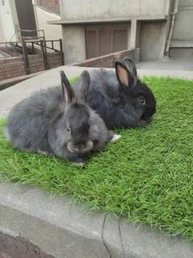 Gaint angora rabbit bunnies pair