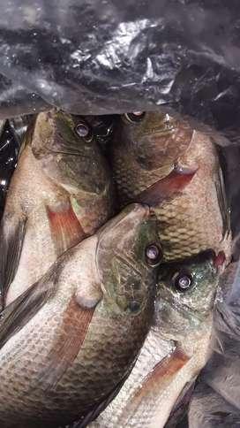 Ikan nila konsumsi monggo yg butuh