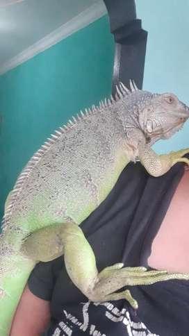 iguana green colomb