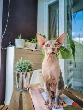 Pacak Kawin Kucing Sphynx - Pejantan Tangguh Garansi Hamil