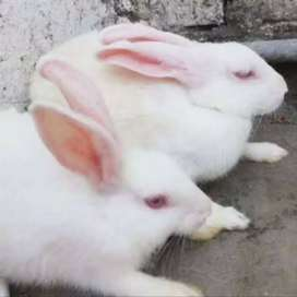 Breeder rabits red eyes