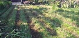 Tanah sawah,view hamparan sawah dan bukit.