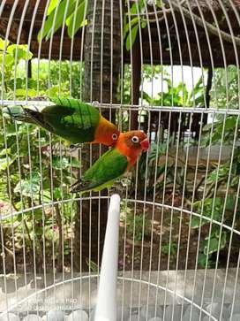 Lovebird sepasang produksi