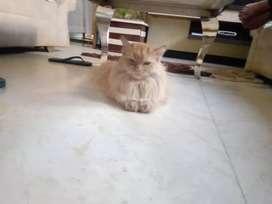 Cat lelo Persian cat
