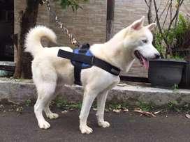 Siberian husky 10 bulan pure white