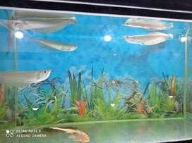 Ikan Arwana Silver 13cm