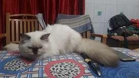 Persian Cat Kitten female (Himalayan) look 4 month old
