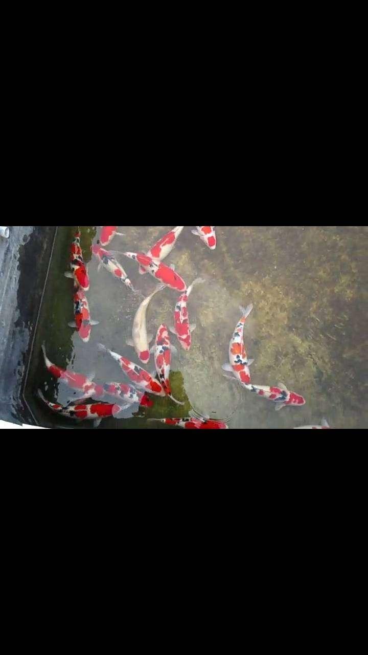 Ikan Koi F1 Anakan Import 0