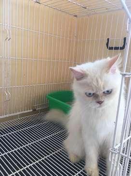 Jual kucing indukan birahi