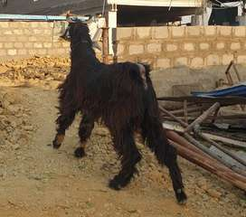 Pure Nachi goat big size breeding pair for sale