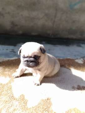 Pug puppies available reservation