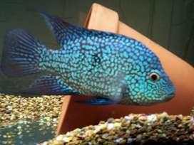 Texus fish