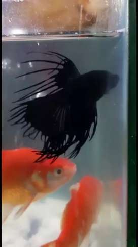 BETTA MALES AVAILABLE...