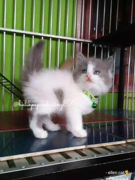 Kucing kitten persia jantan blue white,  cakep & ganteng