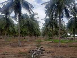 Coconut farm/Agricultural land/Agriculture land/Agriland/Farm land