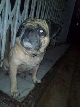 Pug for stud Not for sale