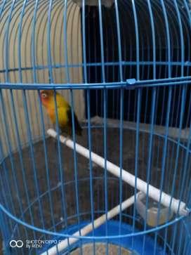 Lovebird 4ekor 4sangkar
