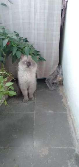 Himalayan Persian cat
