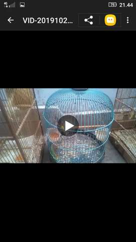 Burung Blackthrout pejantan ngisi 1 x, birahi